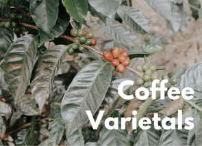 Coffee Varietals (including Geisha)