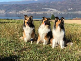 Drei Generationen Seehain Collies, Escada, Caramba und Alpha.