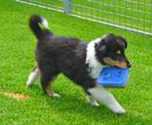 Ginger 5 Wochen alt, hat den Gudelibox gestohlen!