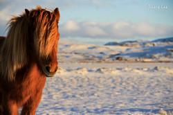 Golden Circle Ponies