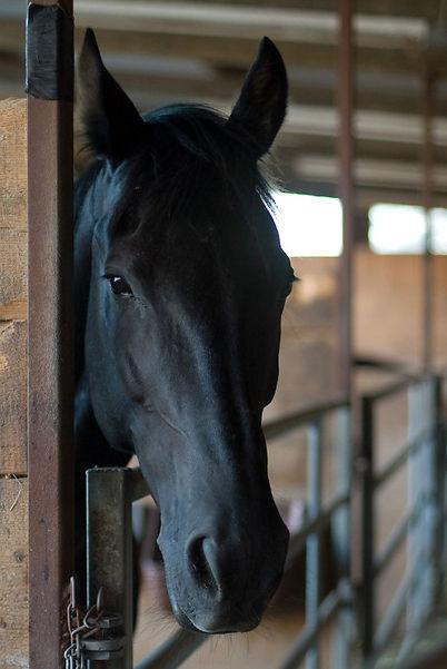 black horse head flipped.jpg