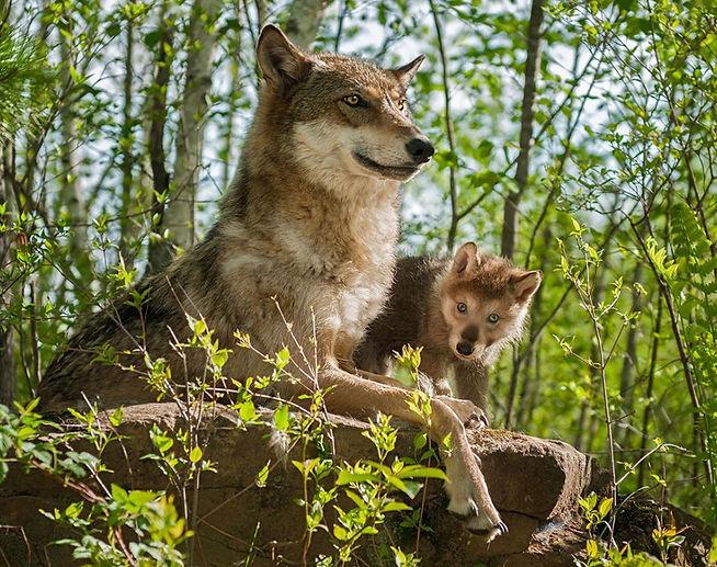 Loup.jpg