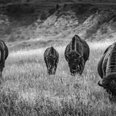 Four Buffalo