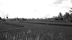 Reisfelder in Ubut, Indonesien