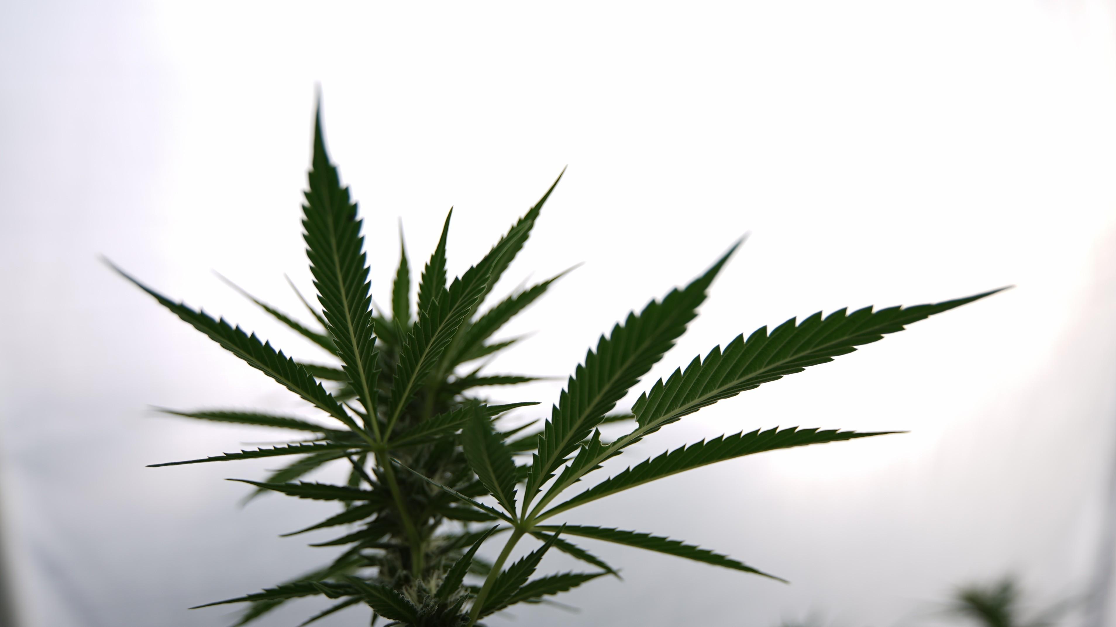 marijuana-plants-10