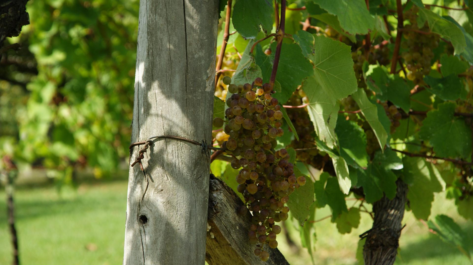 Racimo uva