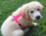 Puppy Harness.jpg