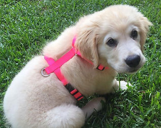 Puppy Harness.jpg