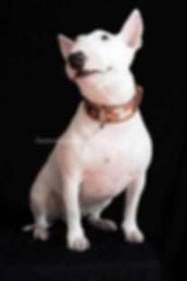Miniature Bullterrier,Mini Bulli,Miniatur Bullterrier,Minibulli,Tricolor Miniature Bullterrier,Minibulli puppy,Bulli puppies