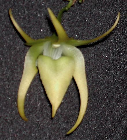Aeranthes ramosus