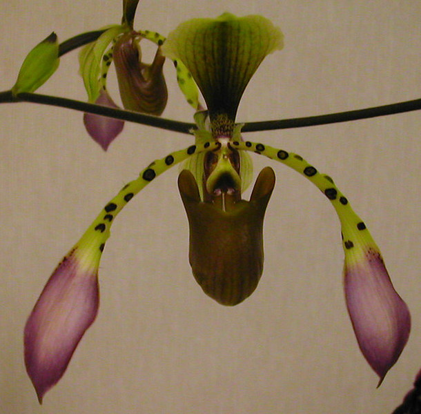 Paph.lowii