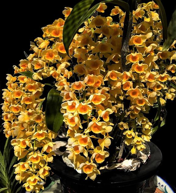 JUNE ~ Dendrobium densiflorum