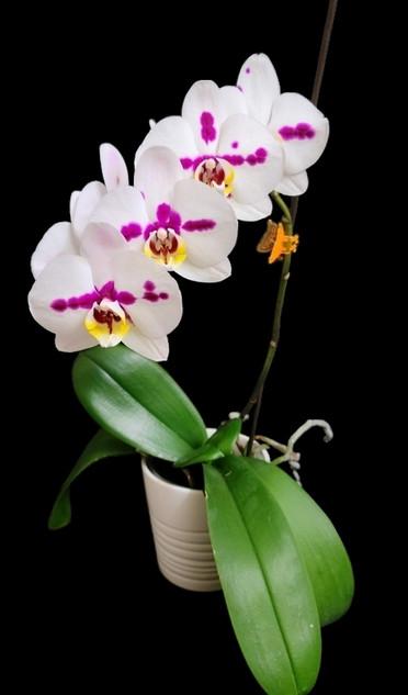 DECEMBER ~ Phalaenopsis NoID