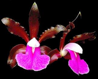 July  Cattleya bicolor Grown by Tennis Maynard