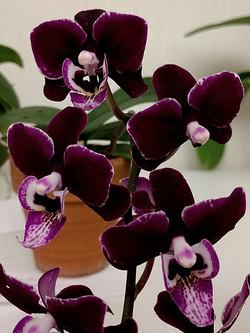 black phalaenopsis