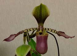 Paph.Song of Love