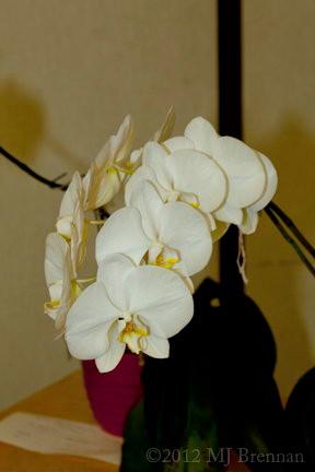 white phal