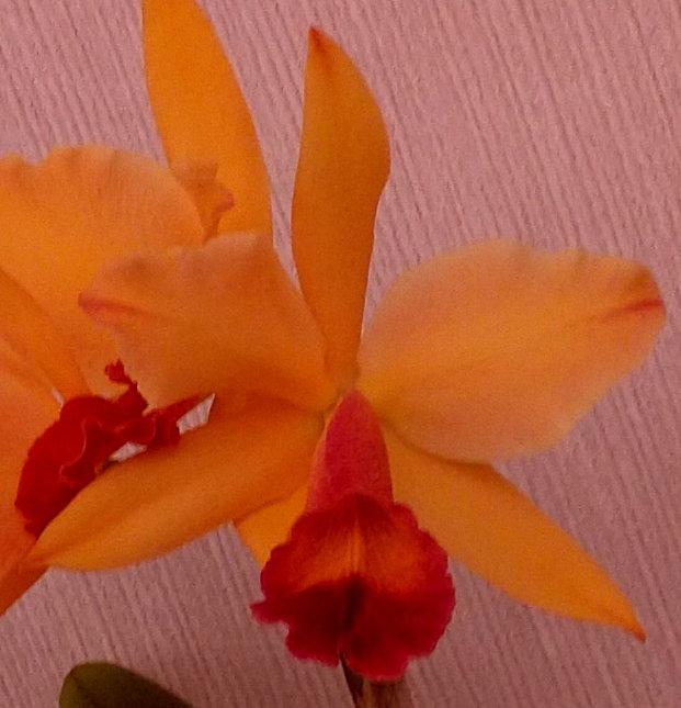 Blc.Tropical Orange