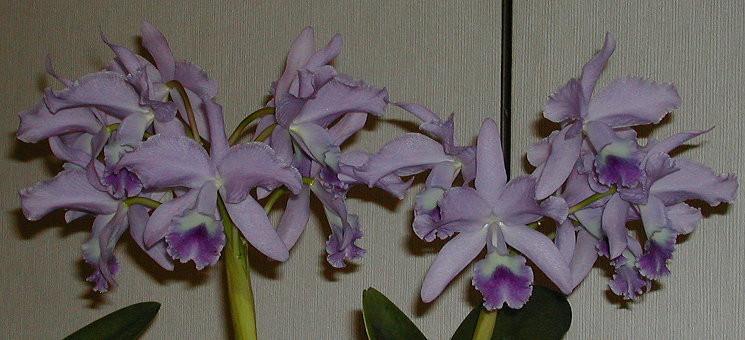 C.Portia coerulea