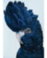 black-cockatoo-6 March.jpg