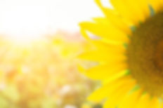 sUNFLOWER.jfif