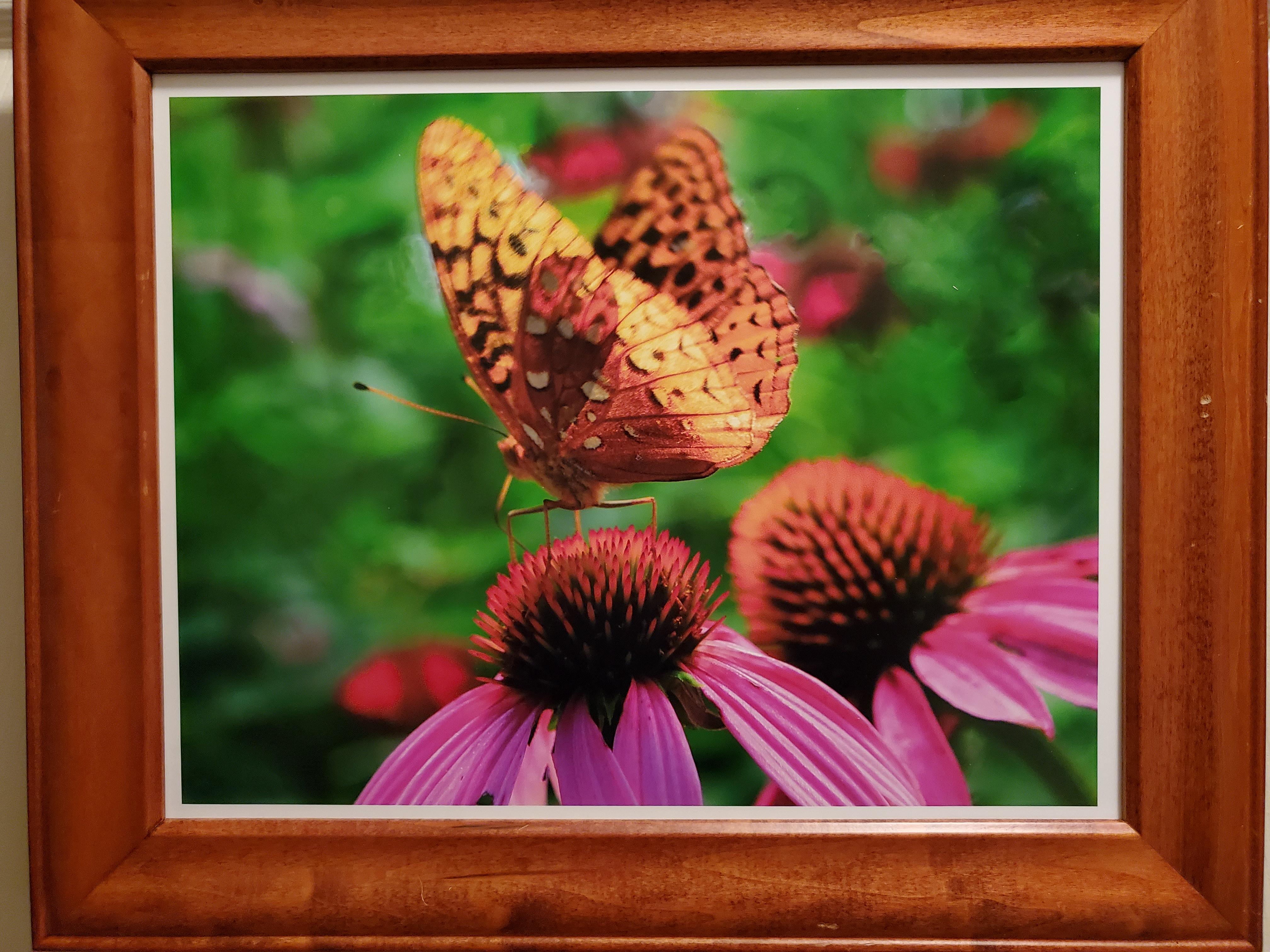 Sunlit Butterfly on Coneflower