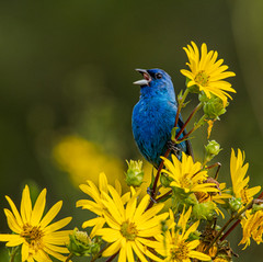 Indigo in a Sea of Yellow by Jackie Curts