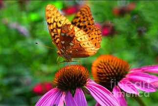 Butterfly on Coneflower by Amy Lucid.jpg