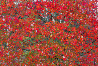 RedMaple by Michael Jack