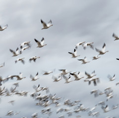 Snow Geese by Debbie Winchester