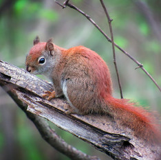 Little Red by Isaac Ober