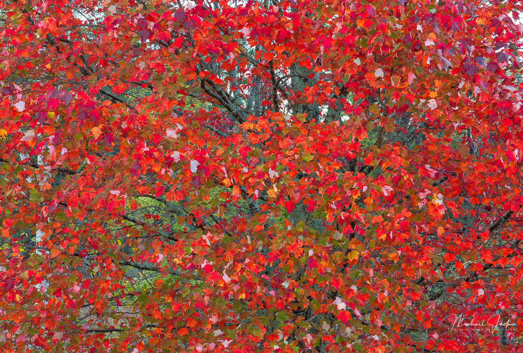Red Maple in the Upper Peninsula of Michigan. The UP is a destination for fall photographers. Our intrepid photography group made a trip up probably one week early for peak color, but did find a few examples of maple trees that had become bright red.