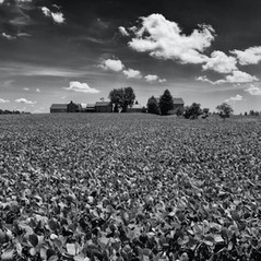 Field of Beans by Dick Hamstra