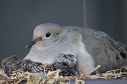 Mother Dove and Baby