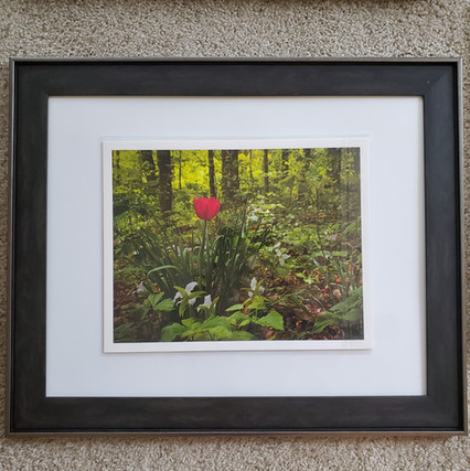 Red Tulip Among Trilliums by Amy Lucid