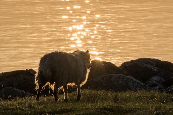 Schaf im Abendrot