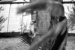 Ce jeune vautour fauve à été trouvé en difficulté vers le Pic Saint Loup.