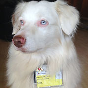 Deaf therapy dog at Lucile Packard