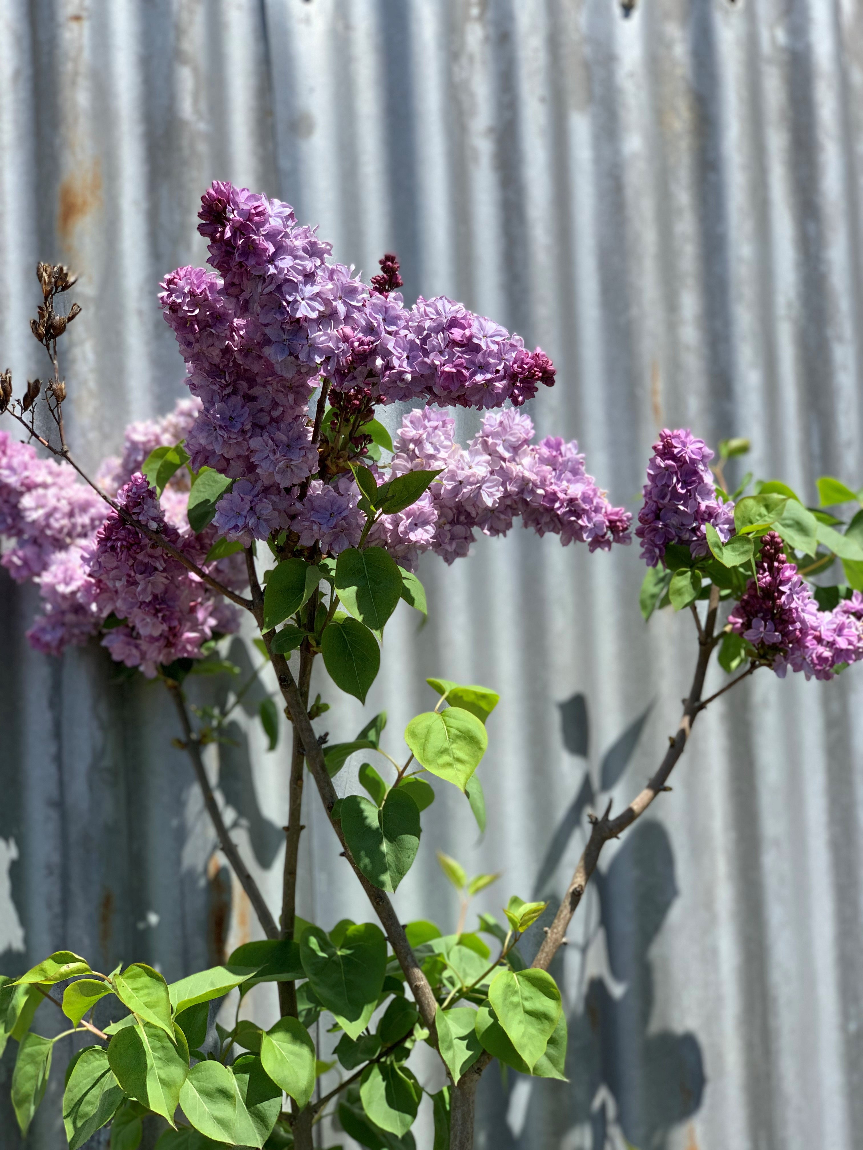 lilac - Copy