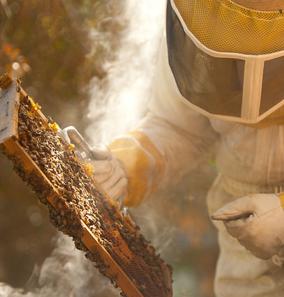 Beekeeper inspecting honey bees