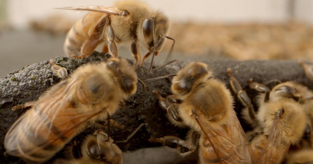 Bees Eating Healthy Bees Spirulina Patty