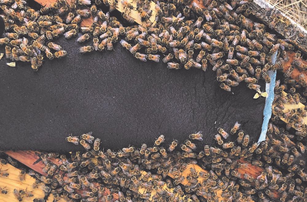 Honey Bees Eating Healthy Bees Spirulina Patty