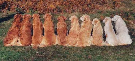 Cores do Golden Retriever