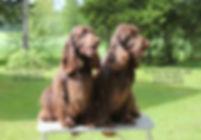 Goloworez Field Spaniels