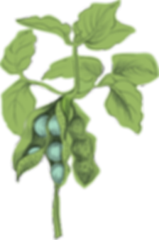Hi Five_Uplaod_Illustration_Pea_Stalk.pn