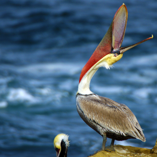 Pelican Stretching
