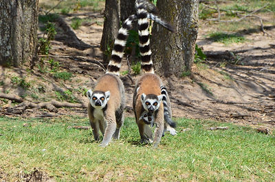 Ringtailed Lemurs from Texas Animal Drive Through