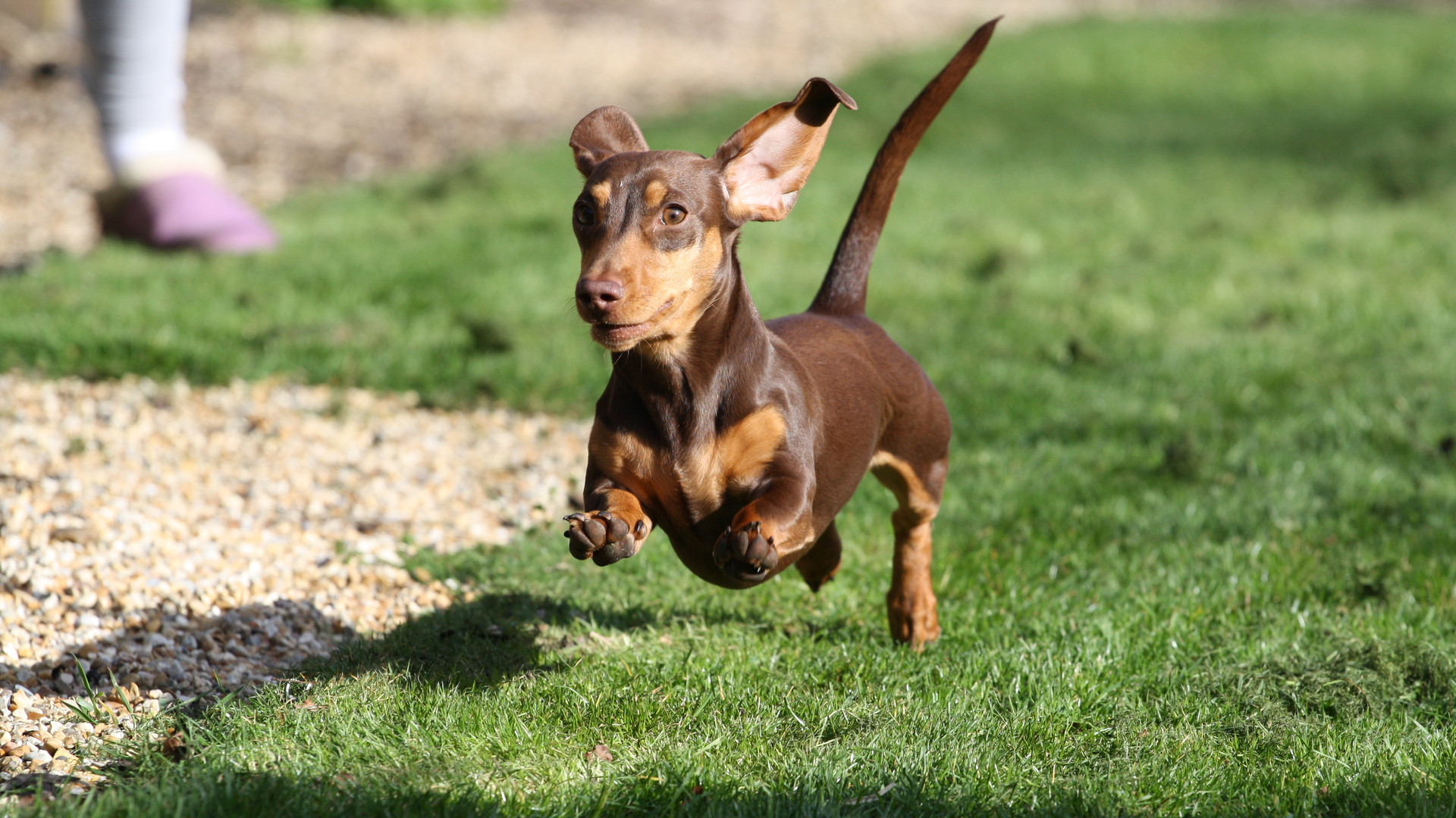 Fit miniature dachshund