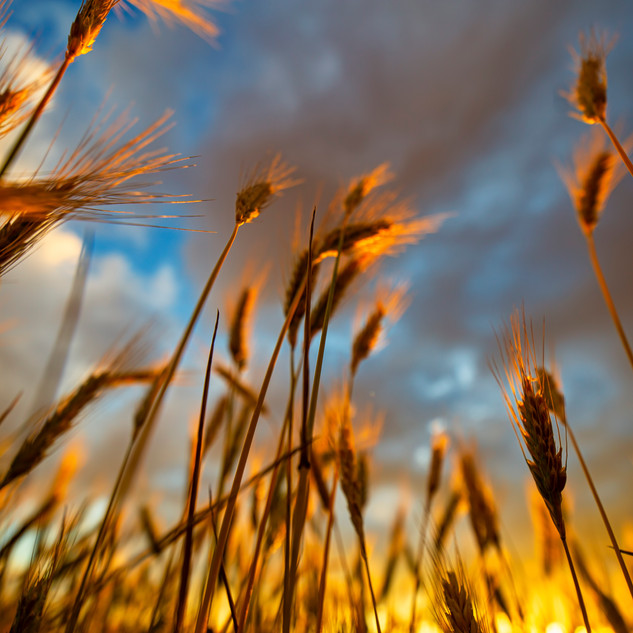 Wheat in the shade..
