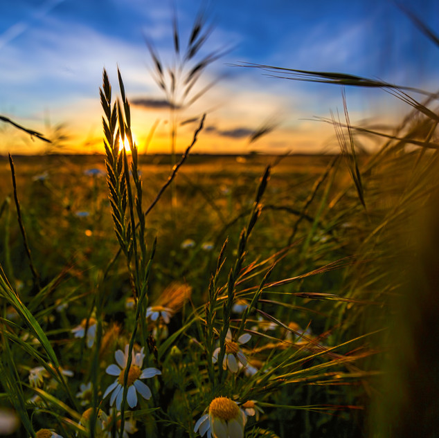 Sunset over daisies